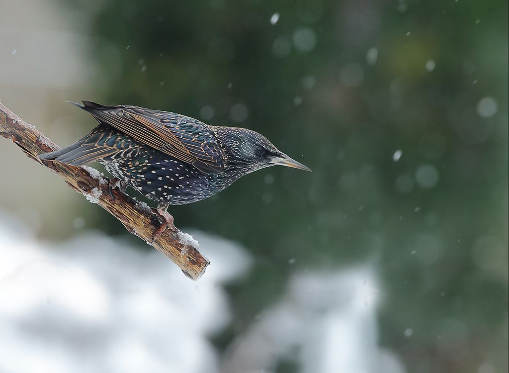 Starling in snow no2
