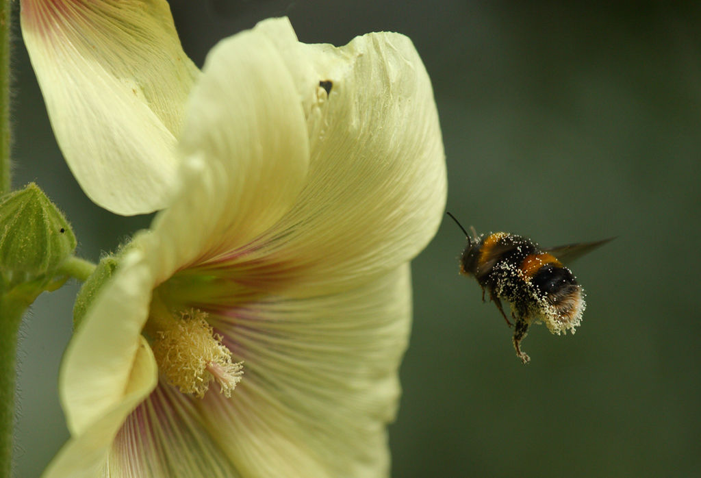 White Tailed Bee 3.