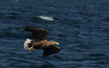 White Tailed Sea Eagle 1