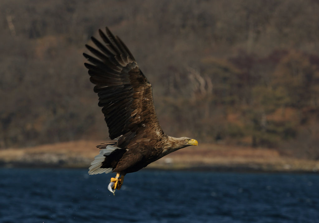 White Tailed Sea Eagle 3