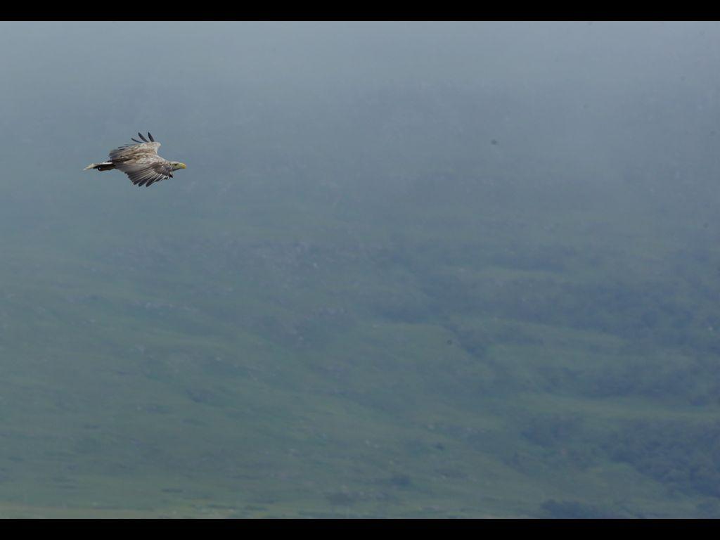 White tailed sea eagle (11)
