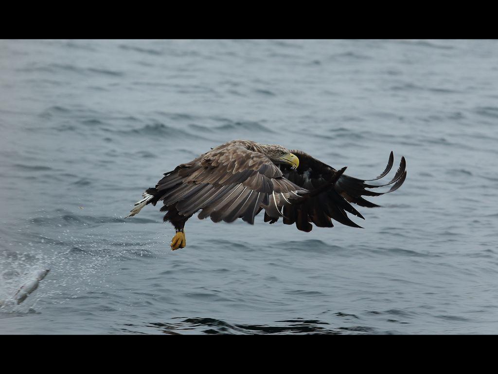 White tailed sea eagle (12)