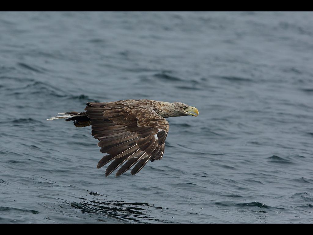 White tailed sea eagle (14)