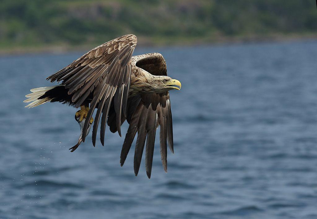 White tailed sea eagle (15)