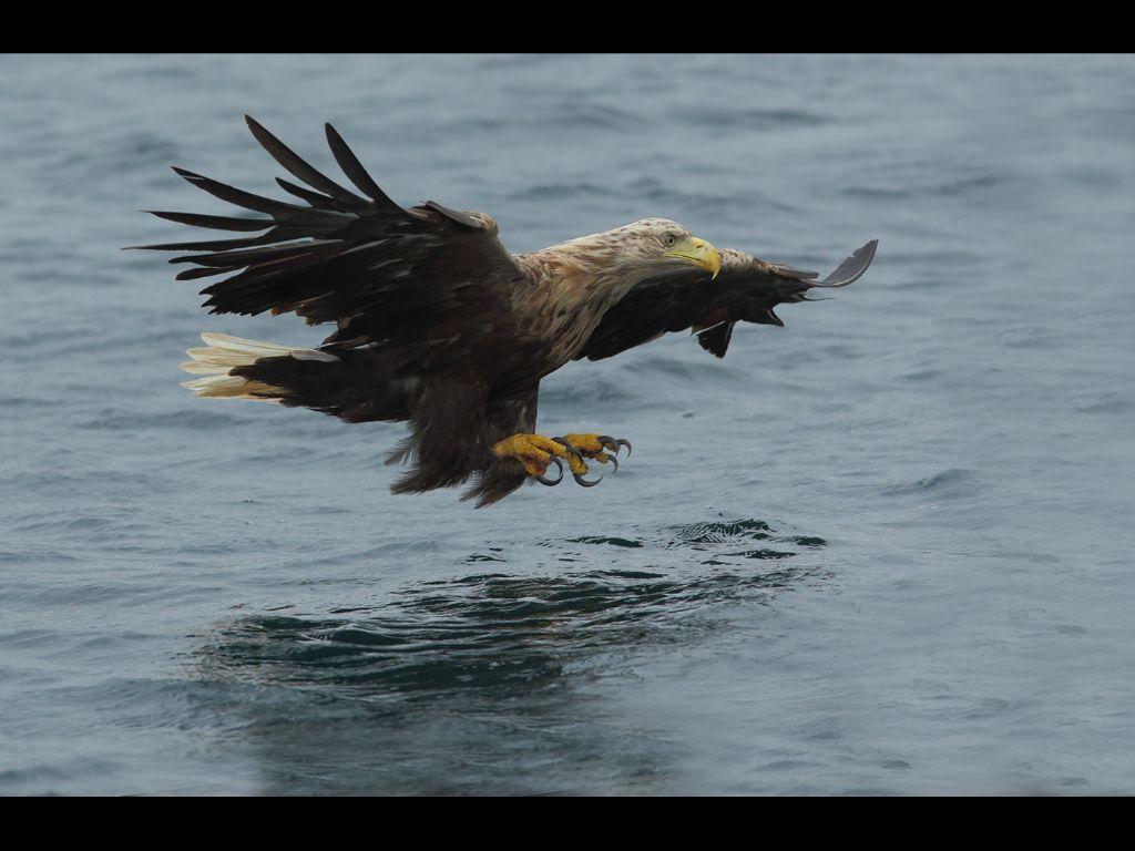 White tailed sea eagle (6)
