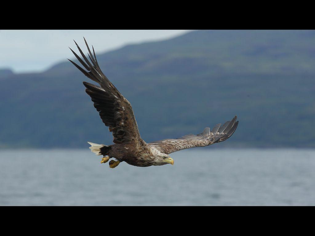 White tailed sea eagle (7)