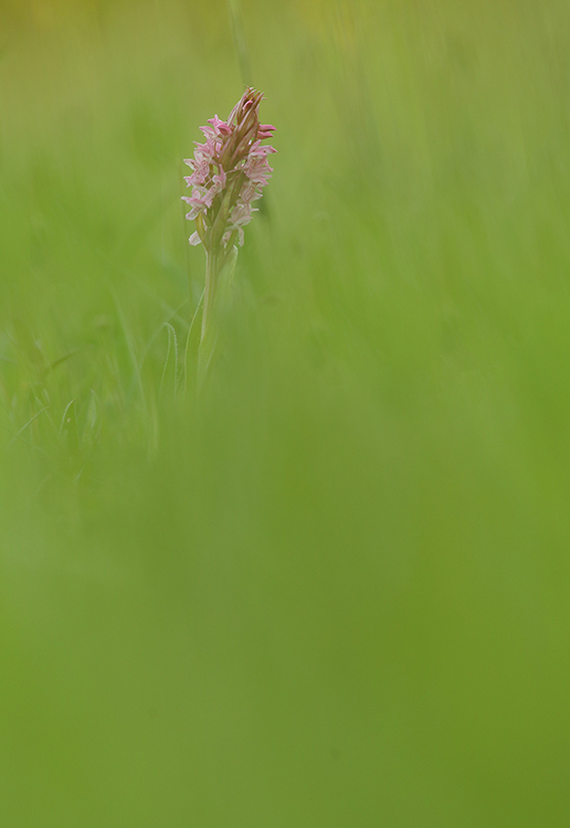 Wild orchid (2)