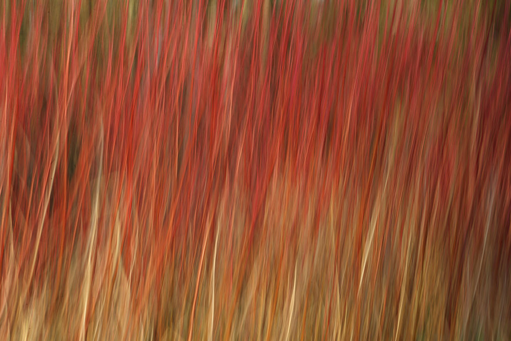 Wind blown willows.