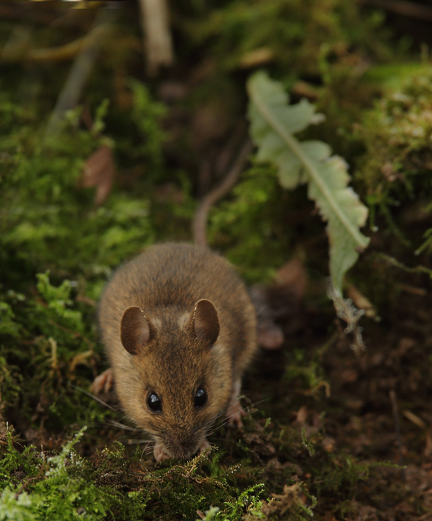 Wood Mouse 2