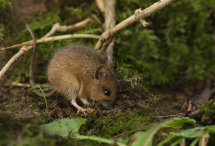 Wood Mouse 3