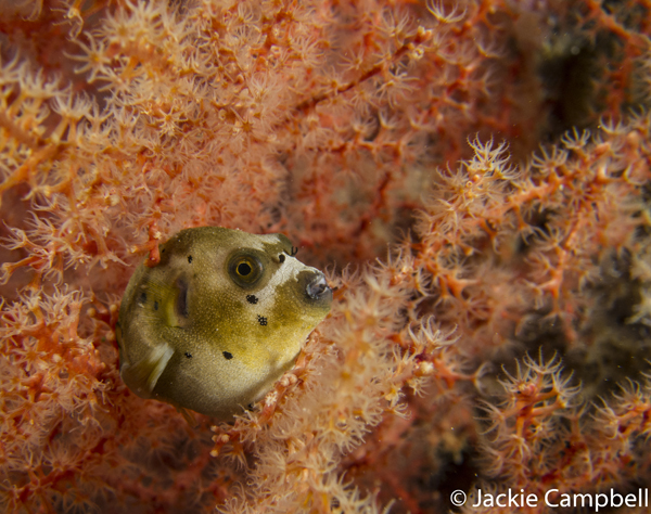 Masked baby pufferfish, Raja Ampat, Indonesia