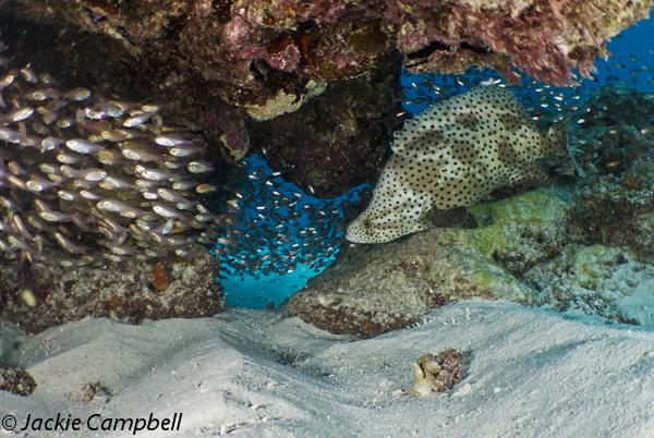 Barramundi Cod and Glassfish, Australia