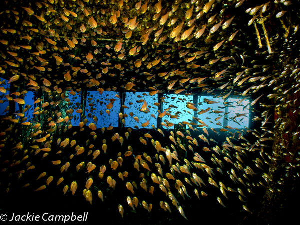 Glassfish in the Giannis D wreck, Red Sea Egypt