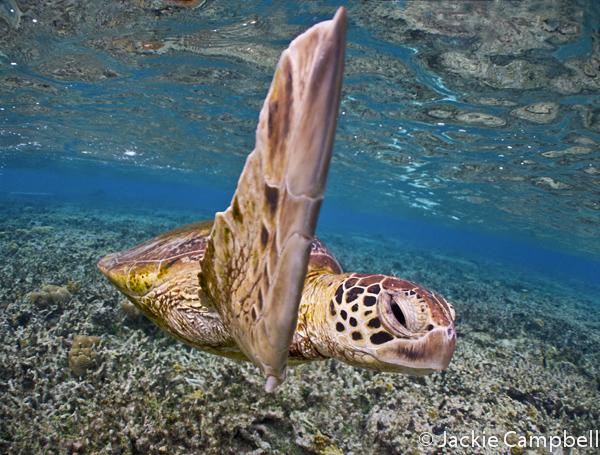 Green Sea Turtle, Lady Elliot Island, Australia