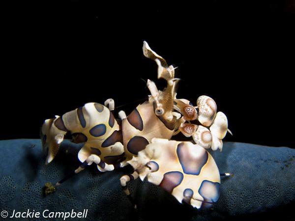 Harlequinn Shrimp, Indonesia