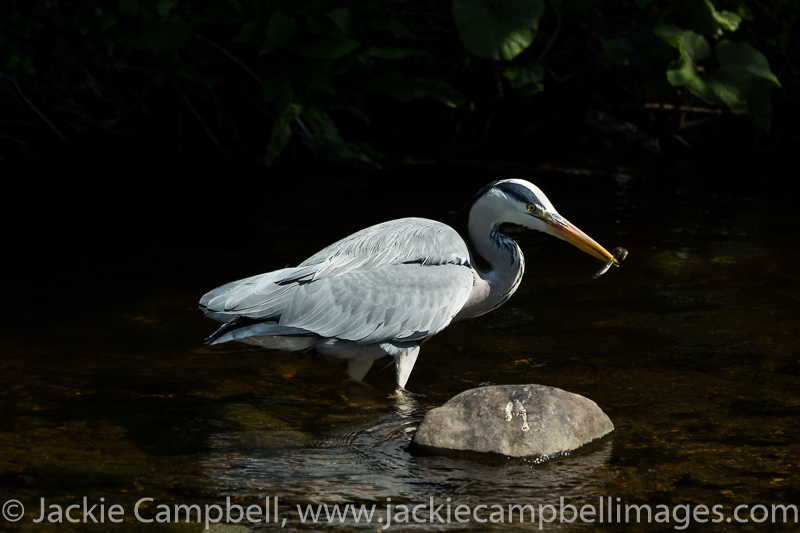 Heron with eel
