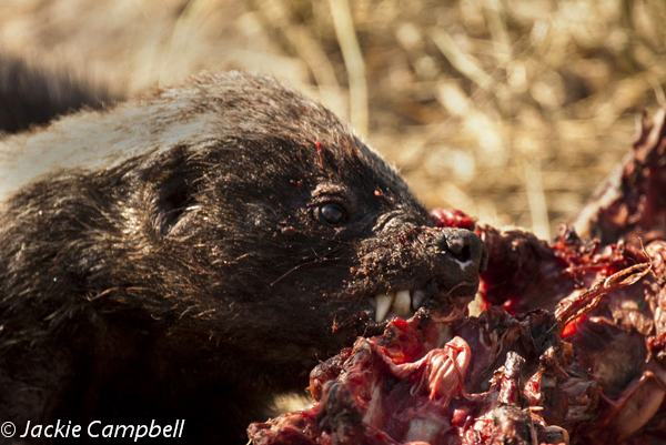 Honey Badger, Botswana