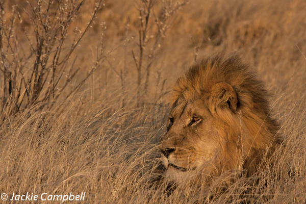 Lion in the grass, Botswana
