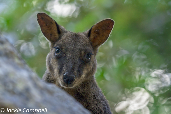 Bush Tail Rock Wallaby, Australia