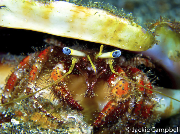 Hermit Crab, Indonesia