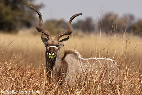 Kudu, Botswana