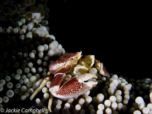 Porcelain crab, Lembeh, Indonesia