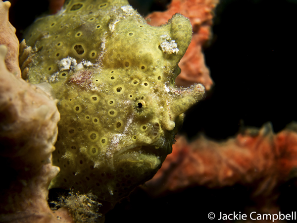 Painted Frogfish, Indonesia