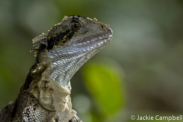 Eastern Water Dragon shedding its skin, Byron Bay, Australia