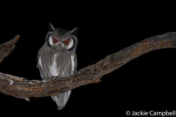 White Faced Owl, Botswana