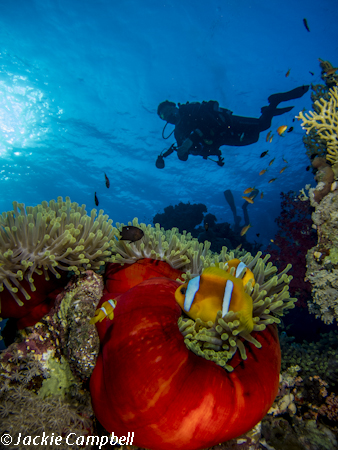 Diver with Anemone fish, Red sea, Egypt