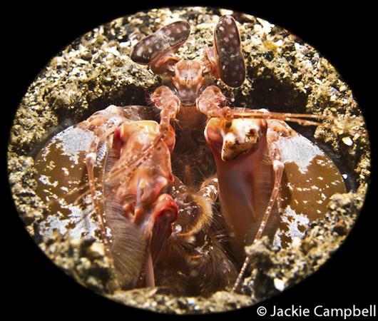 Mantis Shrimp, Indonesia