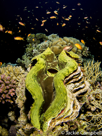 Giant Clam, Red Sea, Egypt