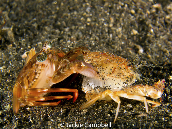Red Swimming Crab Molting, Indonesia