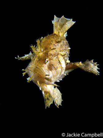 Sargassum Frogfish, Indonesia