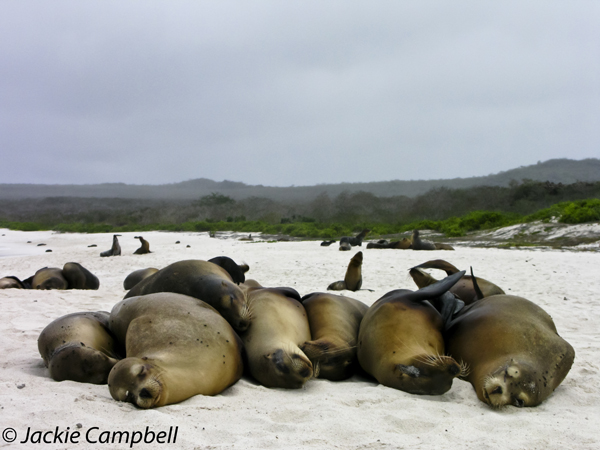 Snooze- Galapagos Sea Lions