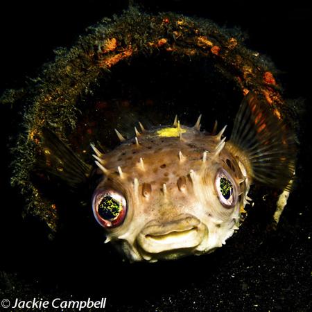 Porcupine Pufferfish, Indonesia