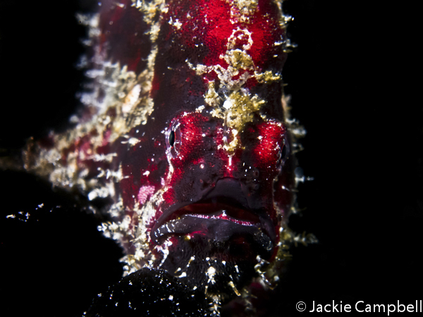 Shaggy Frogfish, Indonesia