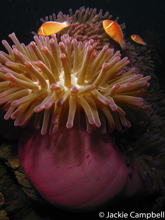 Anemone on the Shinkoku Wreck, Truk Lagoon