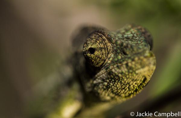 Warty Chameleon, Madagascar