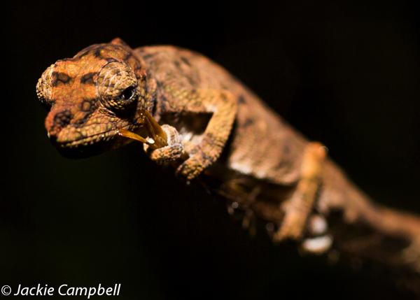 Horn nosed Chameleon, Madagascar