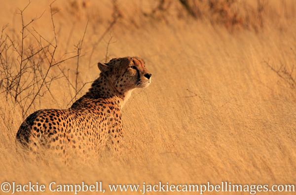 Cheetah just after Dawn, Botswana
