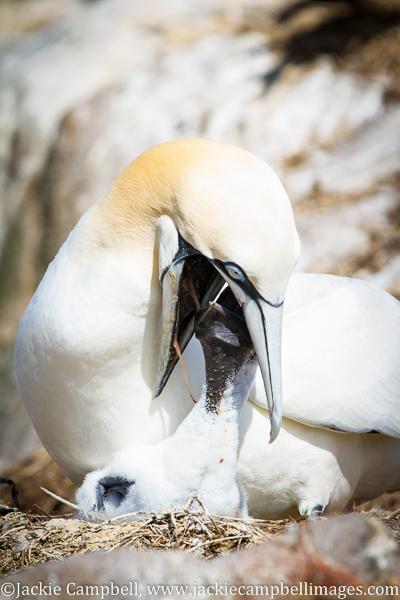 Gannet feeding baby, Ireland