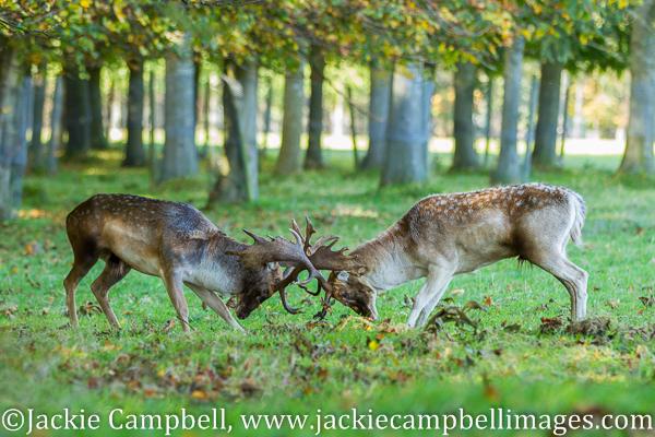 Rutting Fallow Deer, Dublin, Ireland