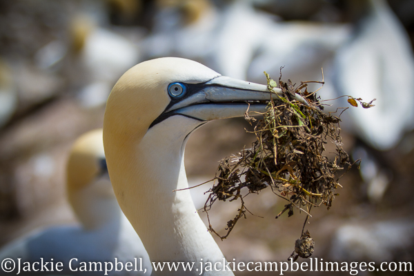 Gannet with nesting material, Wexford, Ireland