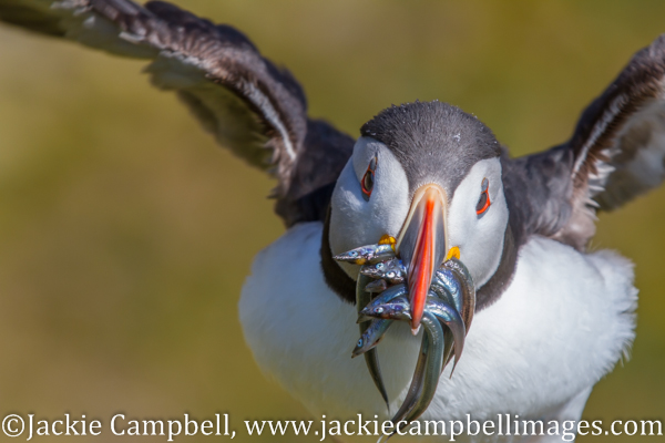 Puffin with sandeels, Ireland