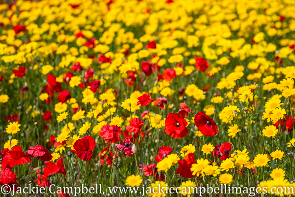 Poppies and Yellow marguerite flower power