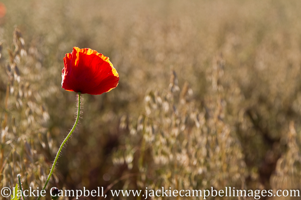 Poppy in field of wheat