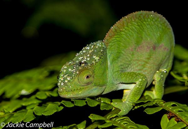Parsons Chameleon, Madagascar