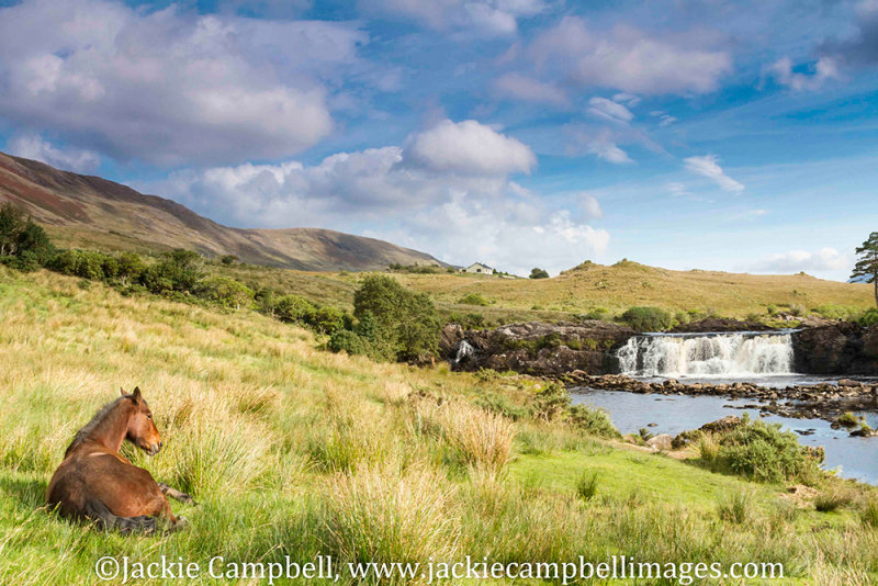 Relaxed Connemara pony enjoying the view at Ashleigh falls, Galway, Ireland