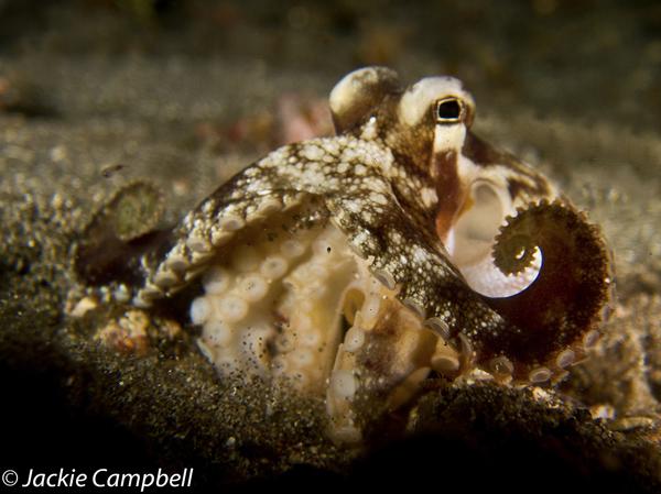 Coconut Octopus, Indonesia